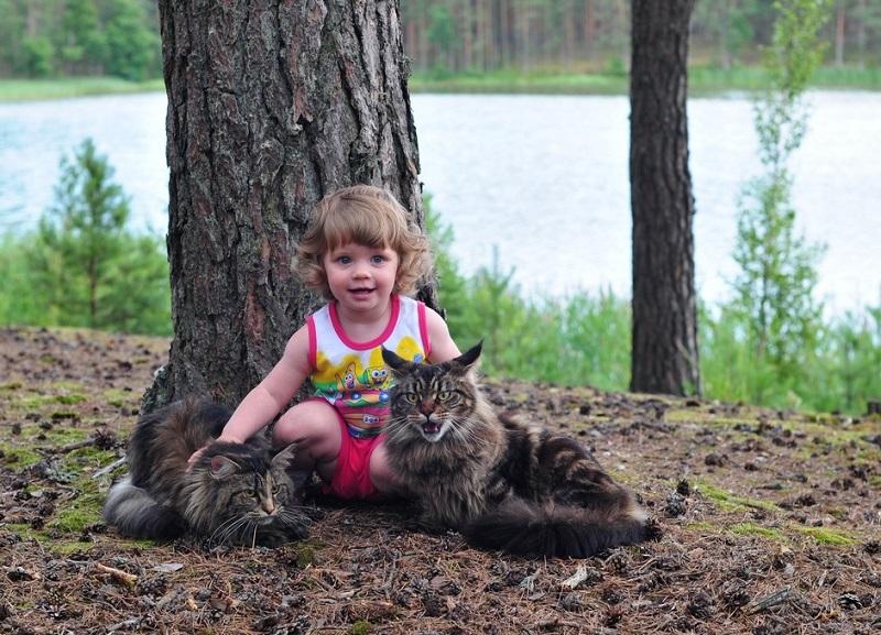 Девочка с котами-мэйнкунами в лесу. Фото