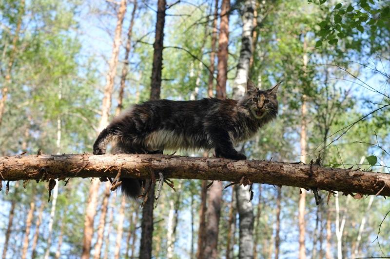 Породистый кот майн-кун на дереве