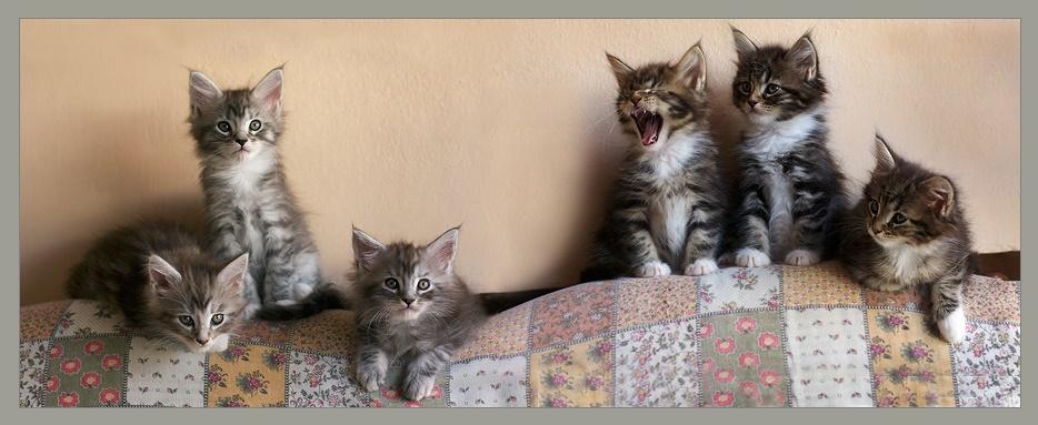 Красивые котята породы мэйн-кун. Фото