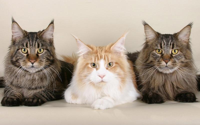 Три кота-мейнкуна