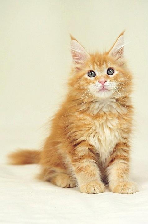 Рыжий котенок породы мэйн-кун