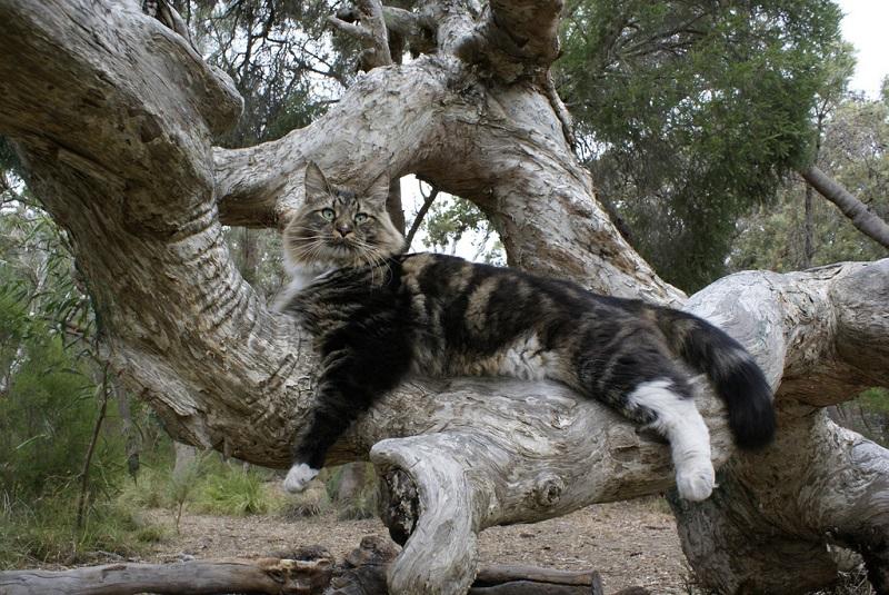 Кот породы мэйн-кун на дереве