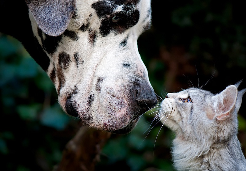 Дружба животных: кот-мейнкун и дог. Фото