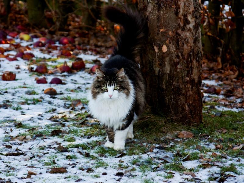 Кошка породы мэйн-кун в лесу