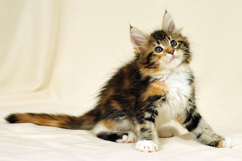 Разноцветный котенок мейн-кун. Фото
