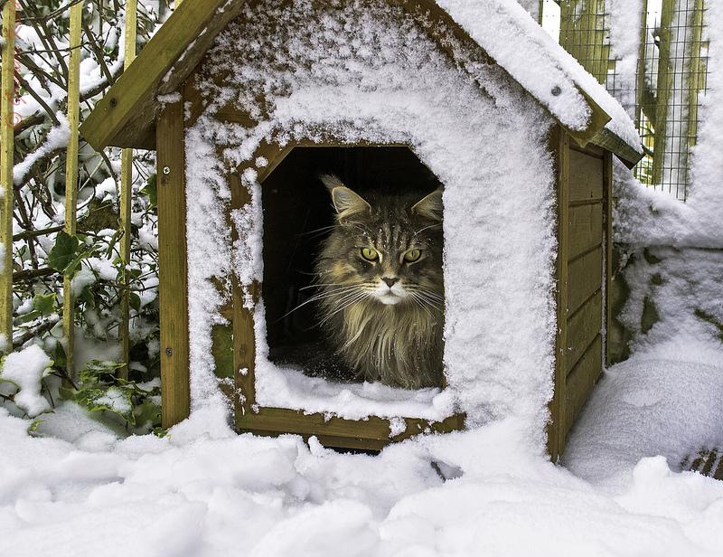 Кошка породы мэйн-кун в будке