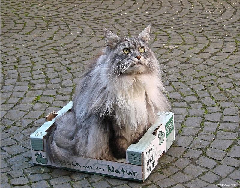 Гордый кот мэйн-кун. Фото