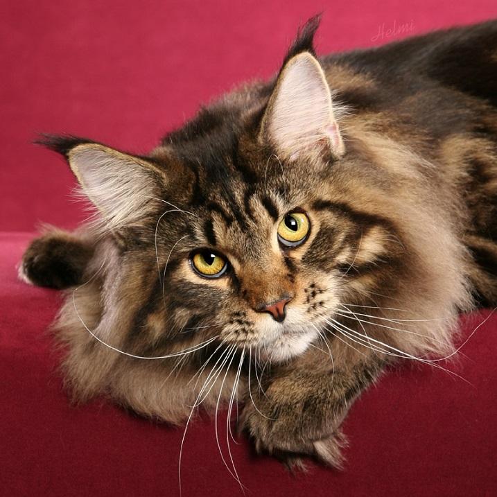 Красивый кот породы мейн-кун