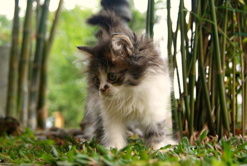 Котенок породы мейн-кун. Фото