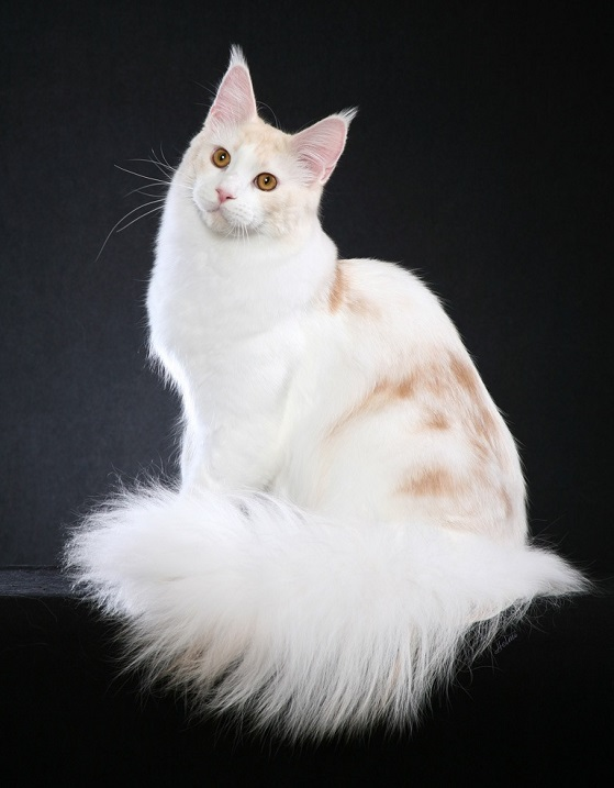 Бело-рыжая кошка. Порода мейн-кун