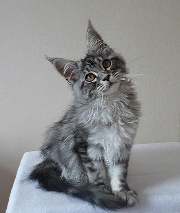 Забавный серый котенок с кисточками на ушах. Порода мейн-кун