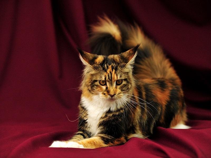 Разноцветная кошка породы мейн-кун. Фото