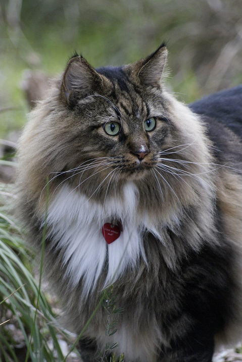 Кот породы мейнкун. Фото