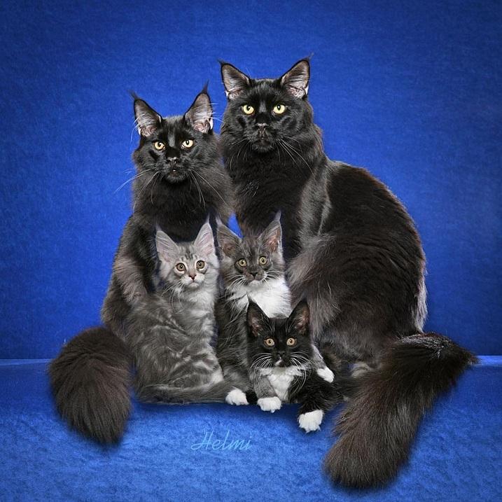 Взрослые коты Мейнкуны и котята черного окраса. Фото