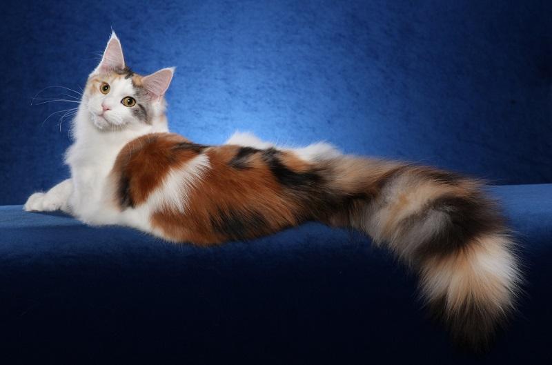 Красивая разноцветная кошка мэйн-кун. Фото