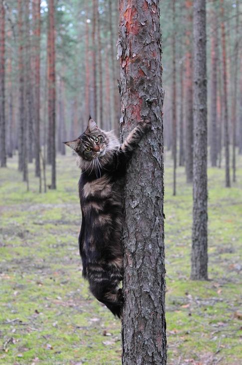 Кот мэйнкун ползет по дереву