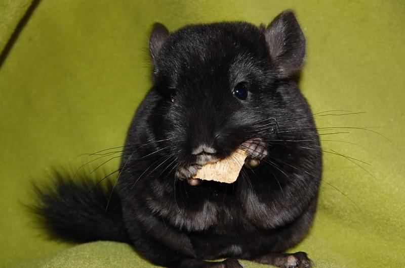 Черная домашняя шиншилла. Фото
