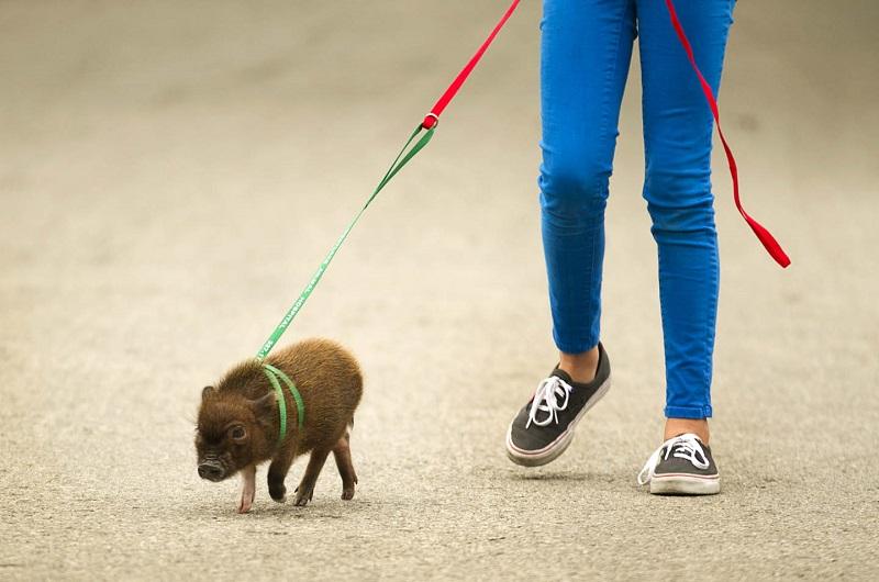 Выгуливание мини-пига. Фото