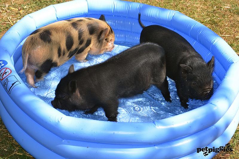 Мини пиги в надувном бассейне на улице. Фото