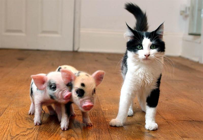 Кошка с маленькими карликовыми свинками. Фото