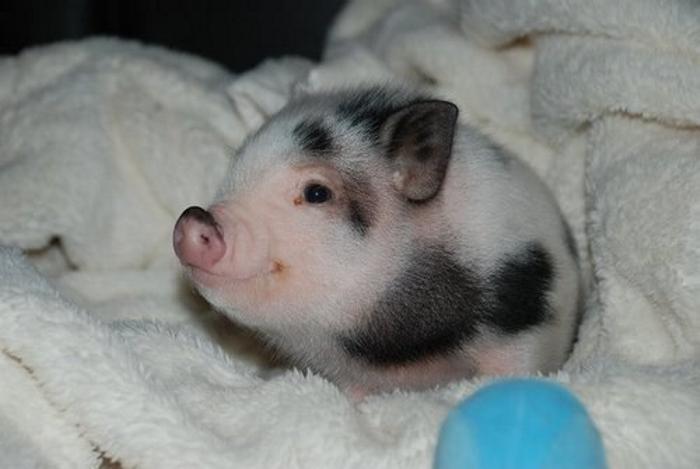 Маленький черно-белый мини-пиг породы мини-майялино. Фото