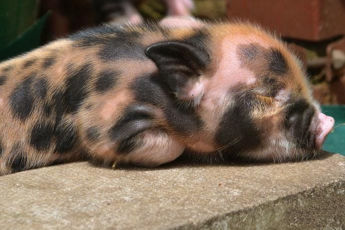 Спящий поросенок мини-пиг. Фото