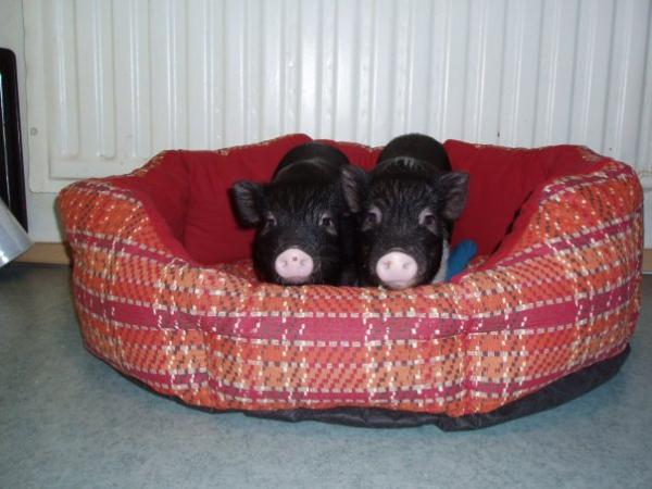Мини-пиги на лежанке. Фото