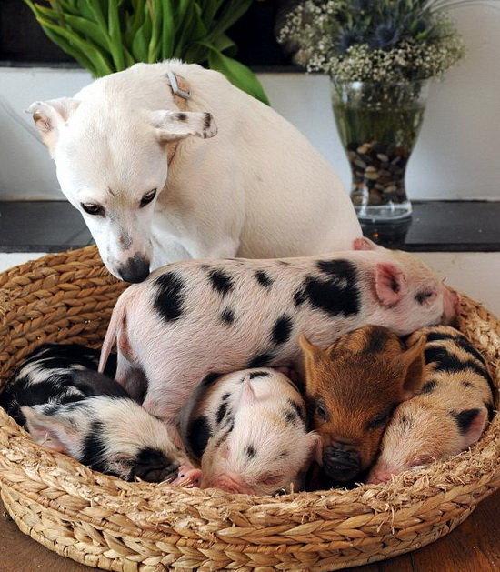 Мини-пиги и собака. Фото