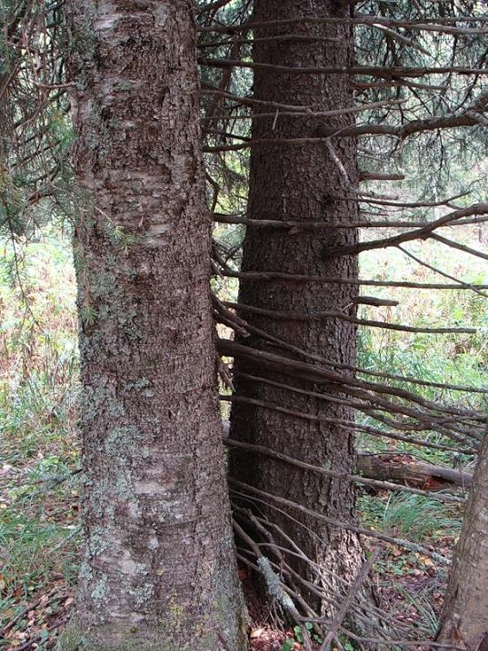 Аномальная ель. Национальный парк Таганай. Фото