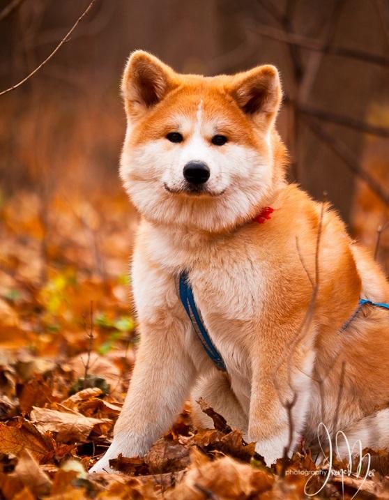 Бело-рыжая собака породы японская акита-ину