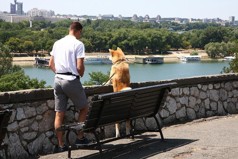 Собака породы японская акита-ину. На задних лапах