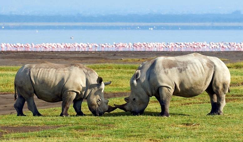 Национальный парк Озеро Накуру в Кении. Носороги. Фото