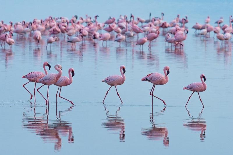 http://udivitelno.com/images/7/rozovye-flamingo-na-ozere-nakuru/2-%D0%A0%D0%BE%D0%B7%D0%BE%D0%B2%D1%8B%D0%B5%20%D1%84%D0%BB%D0%B0%D0%BC%D0%B8%D0%BD%D0%B3%D0%BE%20%D0%BD%D0%B0%20%D0%BE%D0%B7%D0%B5%D1%80%D0%B5%20%D0%9D%D0%B0%D0%BA%D1%83%D1%80%D1%83%20%D0%B2%20%D0%9A%D0%B5%D0%BD%D0%B8%D0%B8.jpg