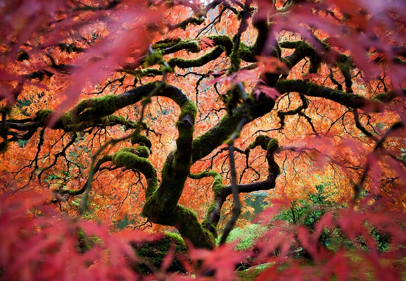 Красивое фото клена в японском саду в Портлэнде