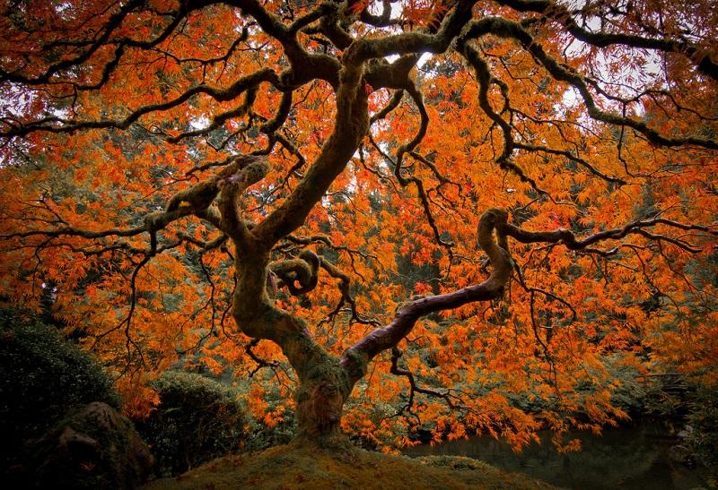 Как клен меняет цвет. Японский сад в Портлэнде. Фото