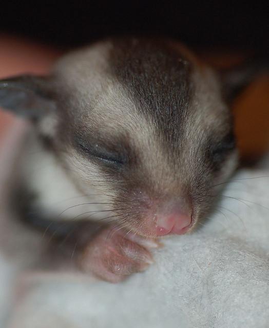 Детеныш карликовой сумчатой летяги. Фото