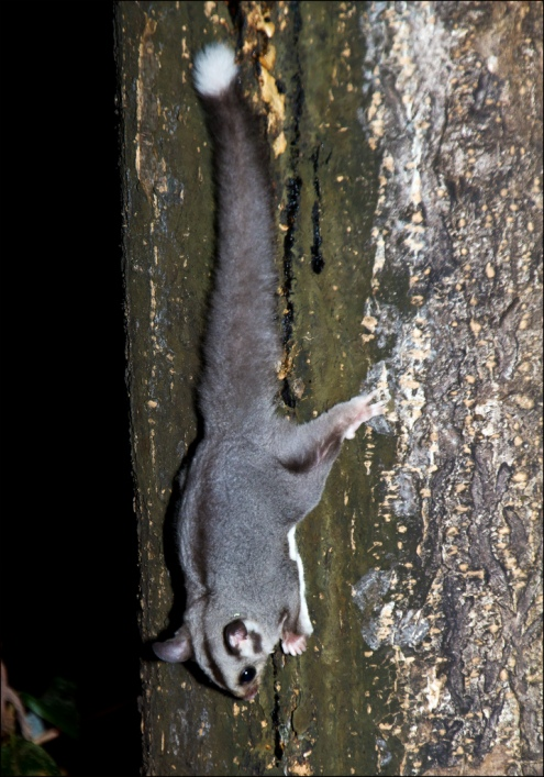 Сахарная сумчатая летяга в лесу на дереве. Австралия