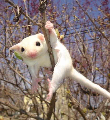 сахарный поссум-альбинос в природных условиях. Фото