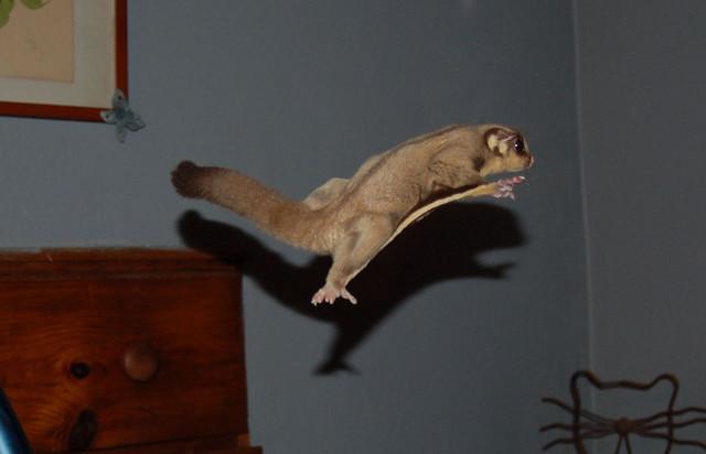 Сахарная сумчатая летяга в прыжке
