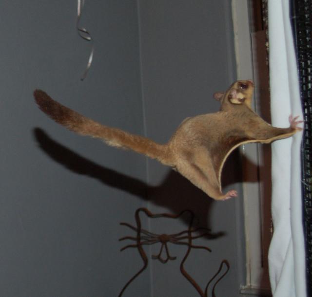 Сахарная сумчатая летяга в прыжке. Фото