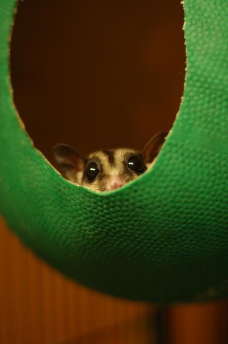 Карликовая сумчатая летяга в домашних условиях. Домик