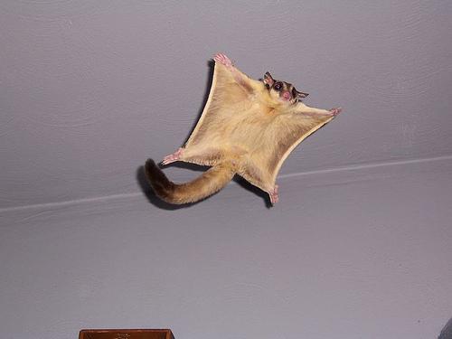 Сахарная сумчатая летяга в домашних условиях Фото