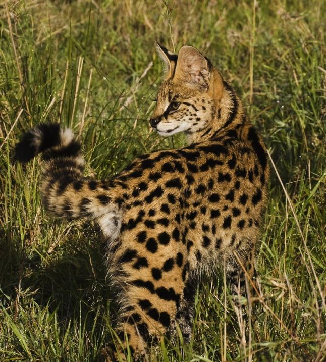 африканская кошка сервал в саванне. фото