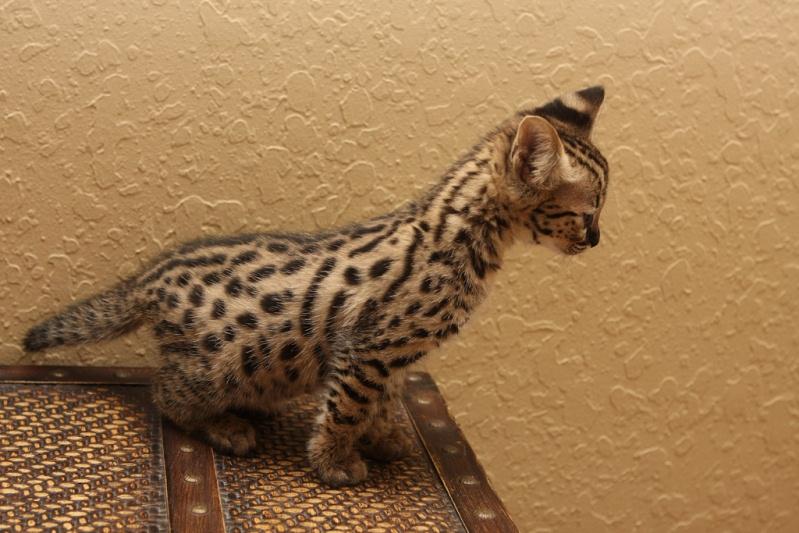 домашний сервал-котенок. фото