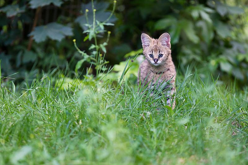 котенок сервала. фото