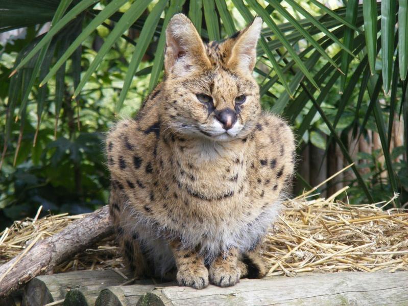 африканский дикий кот сервал. фото