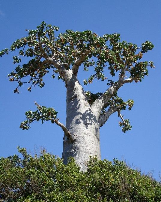 Огуречное дерево. Острова Сокотра. Йемен. Фото