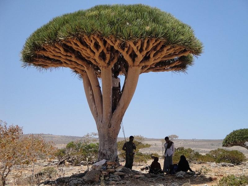 Драконово дерево. Необычная природа архипелага Сокотра. Фото