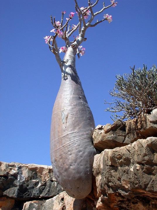 Роза пустыни. Дерево архипелага Сокотра. Йемен. Фото