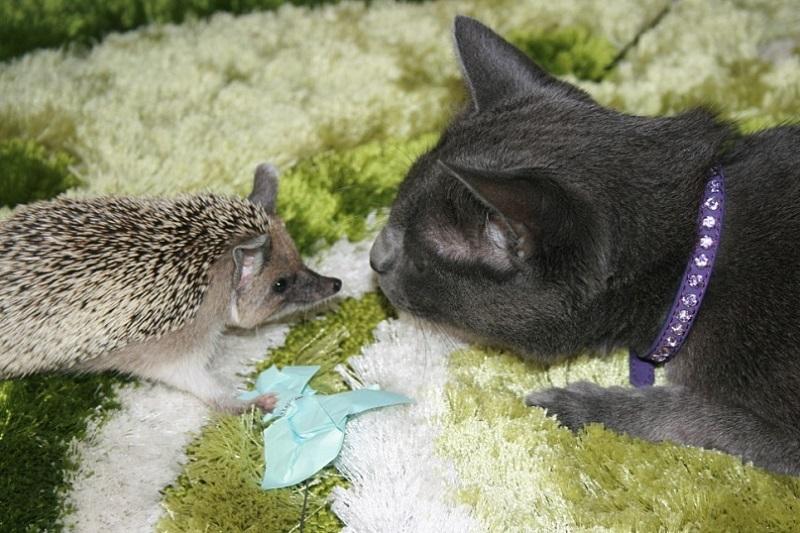 Фото ежик и кот